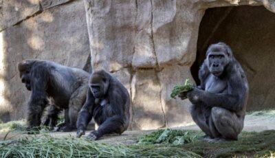 Gorilas contraen COVID-19 - Noticia de Ecuador
