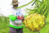 Pitahaya amarilla en Ecuador, exportación - Noticias de Ecuador